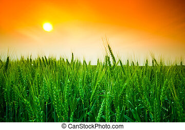 Campo de trigo Sunset