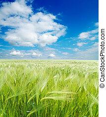 Campo de trigo verde bajo el cielo nublado