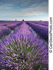 Campo Lavender en Provenza durante las primeras horas de la mañana