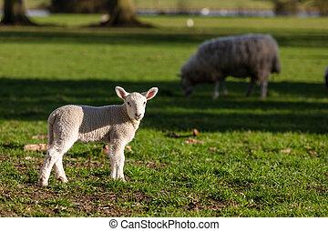 campo, primavera, cordero, oveja bebé