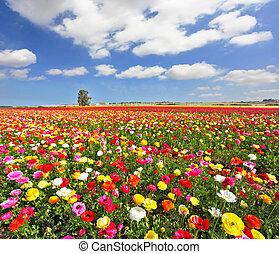 campo, ranúnculos, jardín, colorido, florecer