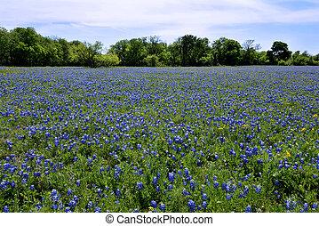 campo, tejas, bluebonnets