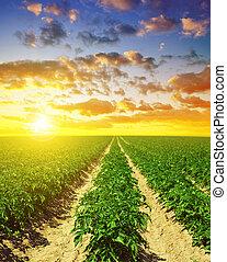 Campo verde de cultivos de papas en fila.