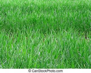 Campo verde de trigo joven