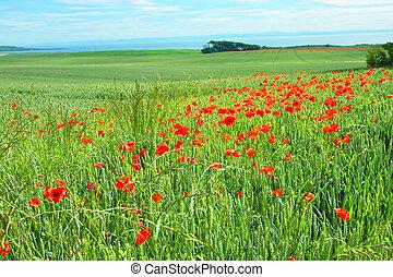 Campos de amapolas, Escocia