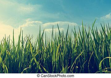 Campos de arroz Paddy
