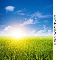 Campos de arroz verdes