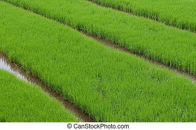 Campos de arroz verdes. Aquí es donde las plantas de arroz crecen de semillas antes de ser trasladadas a la verdadera zona de plantación cuando la edad es correcta. Esta foto tomada en West Java, indonesia.