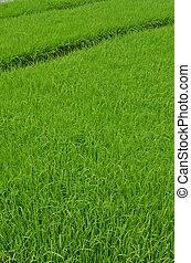 Campos de arroz verdes. Estas son las semillas de las plantas de arroz antes de ser trasladadas a la verdadera zona de plantación. Esta foto tomada en West Java, indonesia.