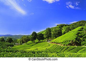 Campos de plantación de té en Cameron Highland