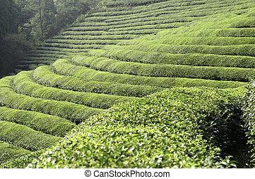 Campos de té verdes