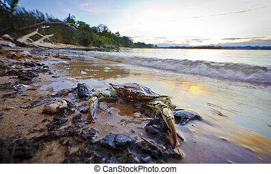 Cangrejo azul de Maryland al atardecer en la bahía de Chesapeake