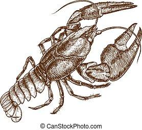 cangrejo río, ilustración, uno