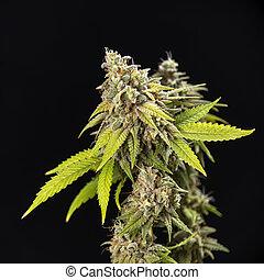 Cannabis cola (Thousand Oaks cepa de marihuana) con pelos visibles y hojas en el último escenario de flores