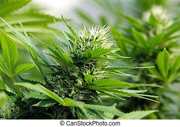 cannabis, detalle, flowerhead