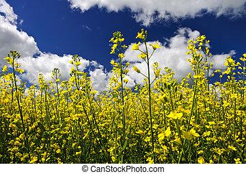 Canola plantas en el campo