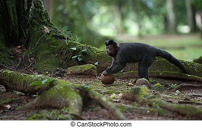 capuchin, coco, copetudo