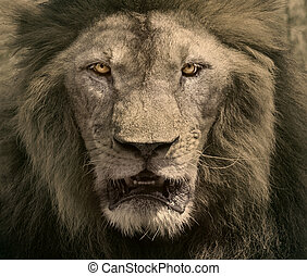 Cara de león macho peligroso rey de safaris africanos