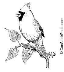 cardinal, norteño