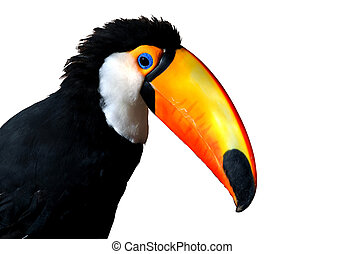 caribe, colorido, grande, tucán, pico, naranja