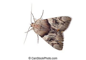 carmesí, luz, moth, underwing