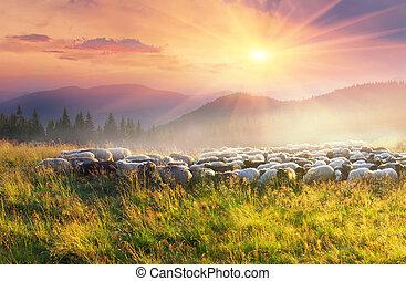 carpathians, sheep