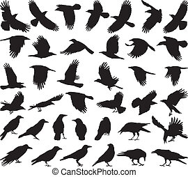 carroña, pájaro, cuervo