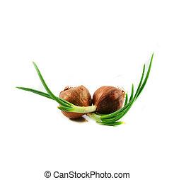 Cebolla de primavera verde o brote de chalote creciendo para sembrar aislada en el fondo blanco