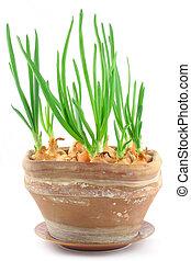 cebollino, home-grown