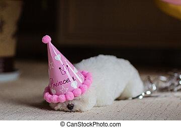 celebrar, oro, caliente, fiesta, mascota, bichon, rosa, color, frise, cumpleaños, home., perro, lindo, aire, blanco, globos, doméstico