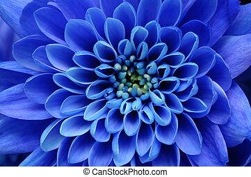 Cerca de la flor azul, con pétalos azules y el corazón amarillo para el fondo o la textura
