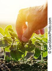 Cerca de la mano de granjero macho examinando la hoja de la planta de soja