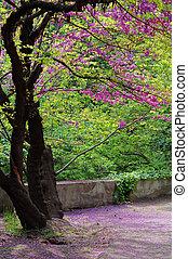 Cerca de las violetas floreciendo Cercis siliquastrum planta en Caucasus