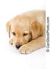 Cerca de un cachorro labrador sentado en un fondo blanco