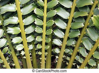 Cercano de hermosas hojas de calumnia cycad (Encefalartos ferox). Esta planta primitiva también es conocida como Tongaland Cycad o Tongaland Broodboom y una planta de adornos popular