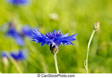Cercano de la flor azul de flores de maíz