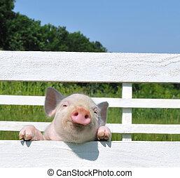 cerdo, pequeño
