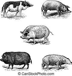 Cerdos 1. Siam de cerdo. 2. Una carrera de cerdos eszalonta. 3. Swine York. 4. Pork essex. 5. Cerdo normando, cosecha de cosecha.