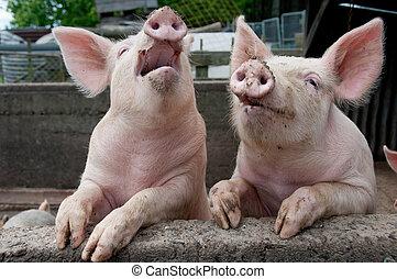 Cerdos cantando