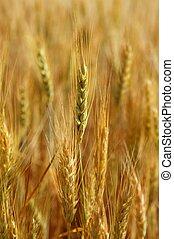 Cereales dorados de trigo amarillo