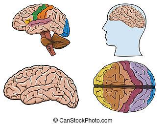 Cerebro humano en vector