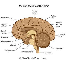 cerebro, humano, eps8, anatomía