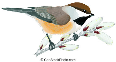 chickadee, boreal