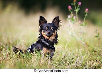 chihuahua, pedigrí, perro
