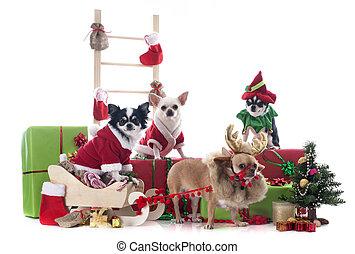 Chihuahuas navideños