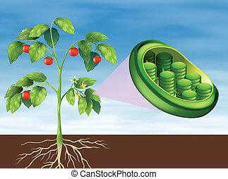 Chloroplast en planta