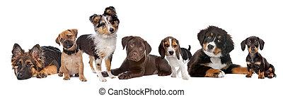 chocolate, fondo., shetland, montaña, derecho, dachshund, miniatura, casta, izquierda, perritos, alemán, perro grande, grupo, pastor, mezclado, sheepdog, bernese, sabueso, doguillo, labrador, blanco