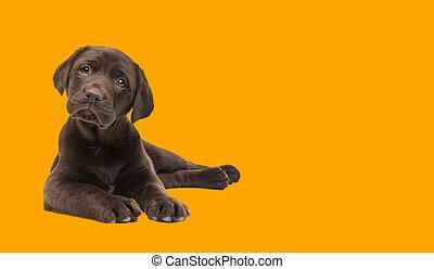 chocolate, perro, perrito, labrador