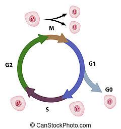 Ciclo celular, eps8