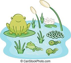 Ciclo de vida de rana para adultos